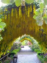 golden chain whidbey island wa garden ideas pinterest