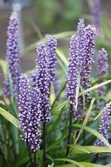 Liriope muscari - big blue lily-turf. Ideal for under hedges and can ...