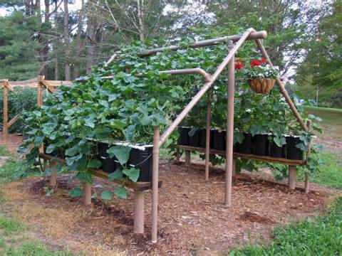 build a pvc cucumber vine trellis
