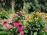 beautiful summer garden black eyed susan and purple coneflower are
