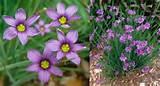 Sisyrichium angustifolium 'Lucerne' (Blue-eyed Grass ...