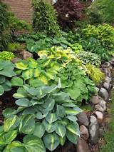 hosta garden with rocks gardening pinterest