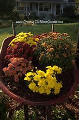 mums and a mailbox garden meet a wheelbarrow growing the home garden