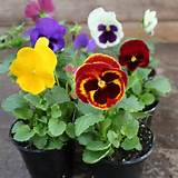 our pansies are cold hardy pansies can overwinter as far north as