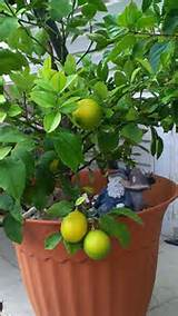 lemon trees require regular fertilization starting as soon as the tree