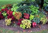 here is a closer look at the coleus and hosta planted under the tree