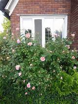 Colette Climbing rose | garden ideas | Pinterest
