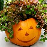 succulent curly headed pumpkin from igardening info