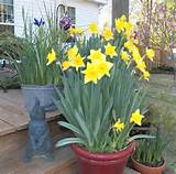 spring delight with daffodils garden ideas pinterest