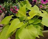 potato vine convention bridgeport traditional porch decorating ideas