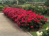 , Gardens Ideas, Everyone Rose, Knockout Roses, Rose Hedges, Red Rose ...