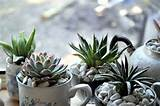 indoor tea cup sucullent succulents pleasures pinterest