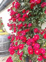 climbing roses cottage garden ideas pinterest