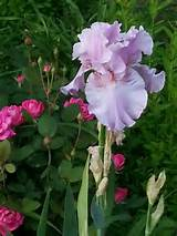moms iris garden ideas pinterest