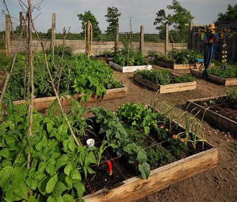 Square foot gardening is traditionally raised in beds. There is less ...