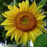 sunflower my green thumb pinterest