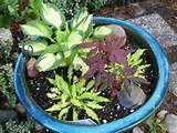 miniature hostas japanese maple ideas for container gardening