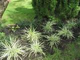 Variegated lily turf | Garden Luv | Pinterest