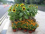 pots of sunflowers and marigolds liven the urban landscape in