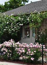 ... rose that covers the front of the small stone house was just finishing