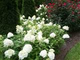 Limelight Hydrangea: The Garden Gift that Gives All Year Round ...