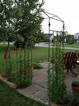 This is my trellis made from rerod | Garden Trellis Ideas | Pinterest
