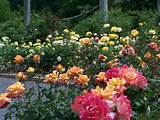 The Rose Garden bursts with color in late spring, with blooms ...