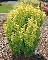 Golden Rocket Barberry PP18626 from Garden Debut