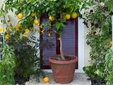 hgtvgardens crew citrus potted in decorative terra cotta container