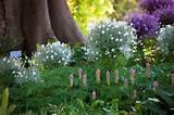 ... Veltheimia bracteata in the shade under a Moreton Bay Fig. | Pinterest