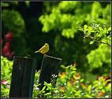 spring warbler garden ideas pinterest