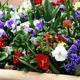 garden centers offer potted bulbs in the spring i added pansies