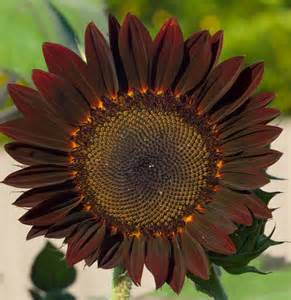 gardening tips choosing the right sunflower to grow