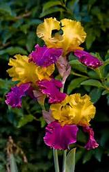 iris garden ideas beautiful flowers pinterest
