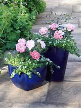 roses are smaller rose varieties that can grow in container gardens