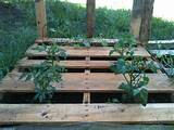 tomato plants 1 bell pepper 6 pack of yellow squash 6 pack of