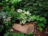 the 2010 hosta of the year first frost in my rock garden with
