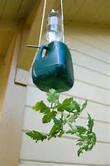 diy upside down tomato planter with milk jug chopstick water