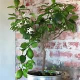 My lemon tree | garden ideas | Pinterest