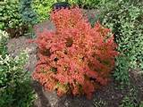 orange rocket barberry outdoor ideas gardening planted plants