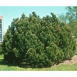 Landscape Ideas - Evergreen Conifers