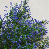 of this in southern california is the california lilac ceanothus