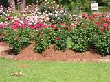 landscaping ideas for front yard - rose garden landscaping ideas800 x ...