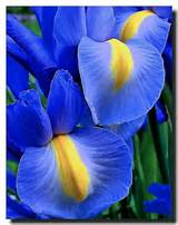 Iris - Garden Ideas | Butterflies and Flowers | Pinterest