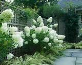 Limelight Hydrangea | Outdoor - Trees & Shrubs | Pinterest