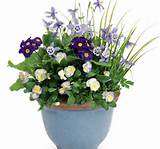 cheerful spring pots this cheerful pot sings spring viola english