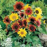 sunflower paquito mix seeds