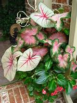 shade container assorted caladiums dragonwing begonia pink or red