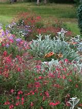 Perennial hillside planting of stachys, salvia greggii, verbena. Plant ...