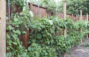 Best Grape Vine Trellis for Pinterest